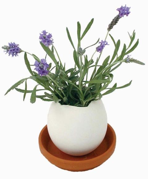 Eggling Lavender